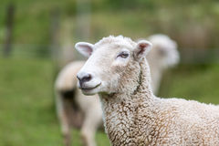 Sheep on Farm Stock Images