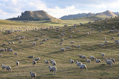 Sheep Farm, New Zealand. Sheep grazing on undulating pasture land, New Zealand. Long shadows due to setting sun Royalty Free Stock Photo