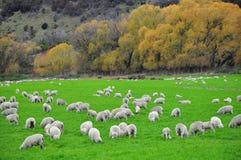 Sheep farm in New Zealand Stock Photo