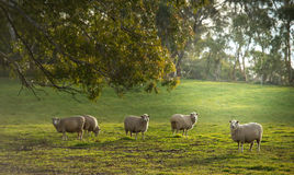 Sheep in farm. Sheep in Oberon, Central tablelands nsw Australia royalty free stock image