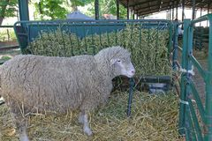 Sheep Farm. One Big Sheep in Pen at Animal Farm royalty free stock photography