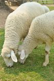 The Sheep on a farm Stock Photography