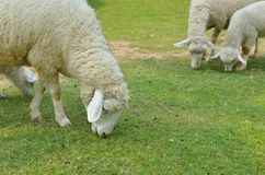 The Sheep on a farm. Outdoor Stock Photo