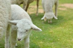 The Sheep on a farm. Outdoor Stock Photos