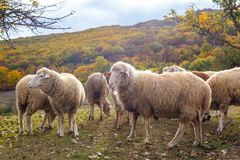 The Sheep on a farm outdoor, stock photos
