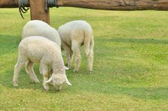 The Sheep on a farm Stock Images