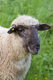 Sheep on a farm, outdoors. Head of Sheep on a farm, outdoors Stock Photography