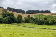 Scottish sheep pasture. Sheep farm outside of Crieff in Scotland, United Kingdom Stock Photos