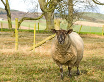A sheep in a farm paddock. Royalty Free Stock Images