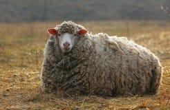 The sheep on the farm Royalty Free Stock Photos