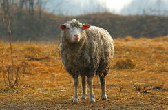 The sheep on the farm Royalty Free Stock Photography