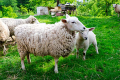 Sheep on the farm Royalty Free Stock Photography