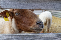 Sheep on the farm Royalty Free Stock Images