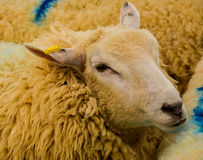 Sheep Farm Royalty Free Stock Photos