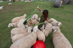 Sheep farm in Ratchaburi, Thailand. Young woman plays and feeds in the middle of sheep in the sheep farm in Ratchaburi, Thailand Royalty Free Stock Photography