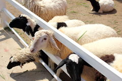 Sheep in farm Stock Image