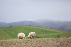 Sheep farm. Relaxing sheep on the ground in the farm Royalty Free Stock Image