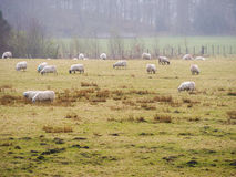 Sheep farm in Scotland Stock Images