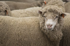 The Sheep Farm Series Royalty Free Stock Images