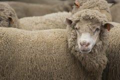 The Sheep Farm Series. Australian Merino sheep on a farm in NSW Australia Royalty Free Stock Images