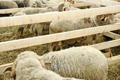 Sheep farm Royalty Free Stock Photography