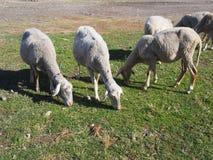 Sheep in farm. 5 sheared sheep grazing in a farm stock image