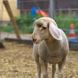 A sheep on a farm royalty free stock photo