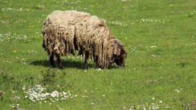 Sheep Graze With Happiness. Sheep farm. sheep graze on pusturage during springtime  with blooming wild flowers freedom happiness  easy way of life Royalty Free Stock Image