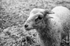 Sheep in farm. Sheeps on rural farm, barnyard animals and nature, livestock, lamb, cute, white, agriculture, mammal, new, pasture, shearing, field, spring, ewe stock photo