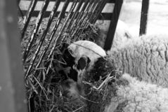 Sheep in farm. Sheeps on rural farm, barnyard animals and nature, livestock, lamb, cute, white, agriculture, mammal, new, pasture, shearing, field, spring, ewe stock images