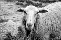 Sheep in farm. Sheeps on rural farm, barnyard animals and nature, livestock, lamb, cute, white, agriculture, mammal, new, pasture, shearing, field, spring, ewe stock photography