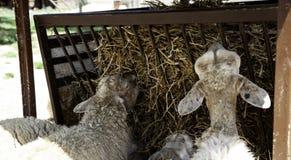 Sheep in farm. Sheeps on rural farm, barnyard animals and nature, livestock, lamb, cute, white, agriculture, mammal, new, pasture, shearing, field, spring, ewe stock photos