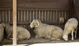 Sheep in farm. Sheeps on rural farm, barnyard animals and nature, livestock, lamb, cute, white, agriculture, mammal, new, pasture, shearing, field, spring, ewe royalty free stock image