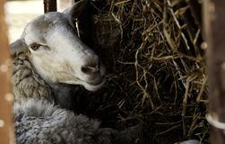 Sheep in farm. Sheeps on rural farm, barnyard animals and nature, livestock, lamb, cute, white, agriculture, mammal, new, pasture, shearing, field, spring, ewe stock image