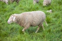 Sheep Farm in Spring. Sheep farm - sheep and lambs Royalty Free Stock Images