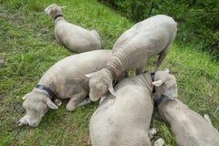 Sheep. In farm in Switzerland stock image
