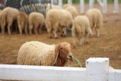 Sheep Farm. Sheep in Sheep Farm Of Thailand Stock Image
