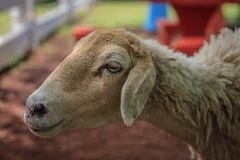 A sheep. In farm in,thailand Royalty Free Stock Image