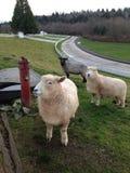 Sheep on the Farm stock photography