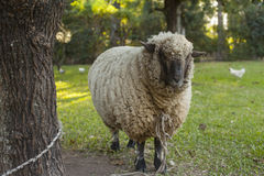 Sheep in farm tied to a tree Royalty Free Stock Photo