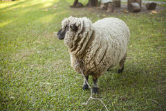 Sheep in farm tied to a tree Stock Photo