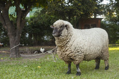 Sheep in farm tied to a tree Royalty Free Stock Photos