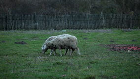Sheep farm -two animals on pasture, tracking stock video footage