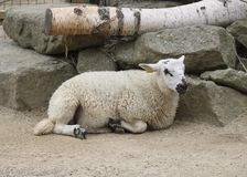 Sheep on the farm. White sheep lying next to the logs. Sheep on the farm royalty free stock photography