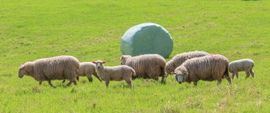 The sheep farm and white wrapped silage background in green farm Stock Image