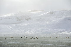 Sheep farm on the winter Stock Images