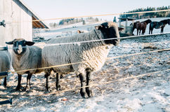 Sheep in farm during winter Stock Images