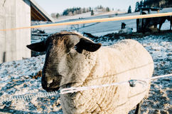 Sheep in farm during winter Stock Photos