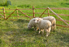 Sheep in farm. Wooly sheep on pasture, rural farming scene Royalty Free Stock Images