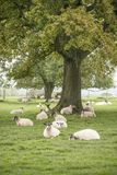 Sheep in farmer field landscape in Autumn Fall Royalty Free Stock Images